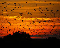 Bats at sunset. Straw-coloured fruit bats (Eidolon helvum) leaving their roost at sunset in Kasanka National Park, Zambia Stock Photo