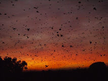 Bats at sunrise. Sunrise in Kasanka National Park in Zambia, with thousands of Straw-coloured fruit bats returning to their roost Royalty Free Stock Photos