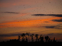 Bats at sunset. Sunser in Kasanka National Park in Zambia, with thousands of Straw-coloured fruit bats leaving their roost Stock Image