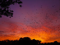 Bats at sunrise. Sunrise in Kasanka National Park in Zambia, with thousands of Straw-coloured fruit bats returning to their roost stock photography