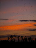 Bats at sunset. Sunset in Kasanka National Park in Zambia, with thousands of Straw-coloured fruit bats leaving their roost Royalty Free Stock Image