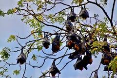 Bats on the tree Battambang, Cambodia stock photos