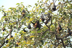Bats On Tree. Royalty Free Stock Images