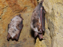 Bats. Two Bats in cave in the N. P. Bobemian Krast Stock Photography
