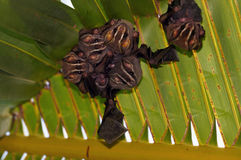 Bats under palm tree. Tent-Making Bats under a palm leaf royalty free stock photos