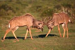 Battaglia dell'antilope di Kudu Fotografia Stock Libera da Diritti