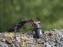 Battaglia dello scarabeo Fotografie Stock Libere da Diritti