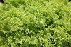 Battavia Lettuce Royalty Free Stock Photography