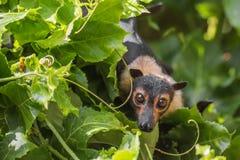 Batte de fruit à lunettes de Fox de vol avec des vignes de Passionfruit Photographie stock