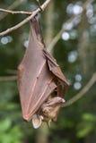 Batte de fruit epauletted de Franquet (franqueti d'Epomops) accrochant dans un arbre Images stock