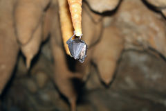 Batte sur la stalagmite Photos libres de droits