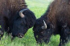 Batteling amerikanska buffeltjurar i South Dakota arkivfoto