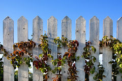 Batten fence. With autumn multi-coloured leaves of grapes on a background of the blue sky stock images