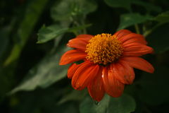 Battered but it blooms. Royalty Free Stock Photography