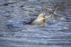 Battered Chum Salmon royalty free stock photo