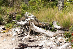 Battered shoreline of the Maine coast. The battered coastline of Vinalhaven Island in Maine has tree stumps, rocks and seaweed showing the beating the coast Royalty Free Stock Photography