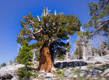 Hiking In Desolation Wilderness Near Lake Tahoe. A battered old tree along a hiking trail in Desolation Wilderness near Lake Tahoe, California royalty free stock image