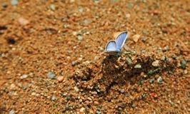 batterfly蓝色在地面上 库存图片
