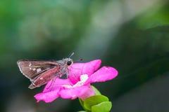 Batterfly как всосать сироп от цветня цветка Стоковые Фотографии RF