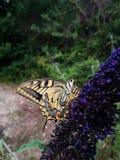 Batterfly foto de stock