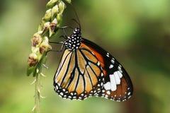 Batterfly Lizenzfreies Stockbild