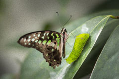 Batterfly and Caterpiller. On a green leaf royalty free stock photo