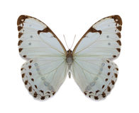 Batterfly collection morpho luna Royalty Free Stock Image