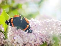 Batterfly på lilan Arkivbild