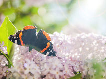 Batterfly sur le lilas Photographie stock