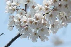 Batterie des fleurs de cerise Photos libres de droits