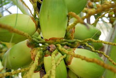 Batterie des noix de coco vertes Photographie stock libre de droits
