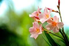 Batterie des oléandres roses Image stock