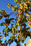 Batterie des raisins Photos stock