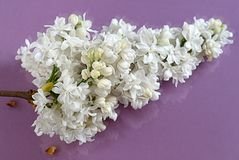 Batterie lilas blanche Image stock