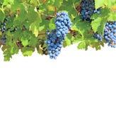 Batteries des raisins mûres parmi l'isolat vert de lames Photos libres de droits