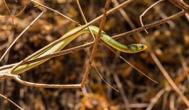 Battersby´s Green Snake Kenya, Africa Royalty Free Stock Images