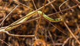 BattersbyÂs grüne Schlange Kenia, Afrika Lizenzfreie Stockbilder