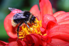 Battersea manosea la abeja Imágenes de archivo libres de regalías
