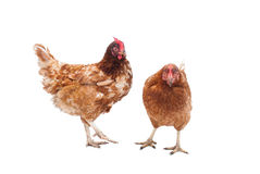Battery Hens. Two battery hens on a white background Royalty Free Stock Photo
