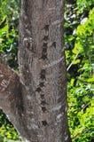 Battes dans une rangée sur le tronc d'arbre Image libre de droits