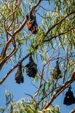 Battes pendant de l'arbre de gomme en Katherine, Australie Images stock
