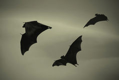 Battes volant au coucher du soleil Photo libre de droits