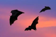 Battes volant au coucher du soleil Photographie stock