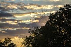 Battes volant au-dessus des arbres Image stock