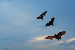 Batti le siluette con illuminazione del tramonto - festival di Halloween Fotografia Stock