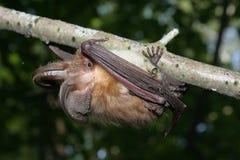 Batti su un albero, svezia, Gotland Immagini Stock Libere da Diritti