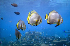 Battie. Short-finned Batfish (Platax novaemaculatus) school swimming over coral reef Stock Photo