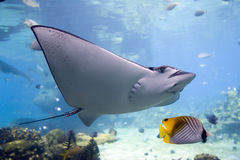 Battie. Spotted Eagle-rays (Aetobatus narinari) swimming over coral reef,Lined Butterflyfish Stock Images
