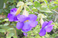 Battiscombei van Thunbergia/thunbergia Royalty-vrije Stock Foto