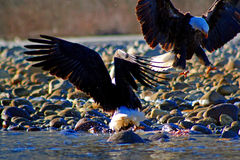 Battle. Two american bald eagles battling over rotting salmon in Squamish, BC, Canada.  Slightly grainy, best used at smaller sizes Royalty Free Stock Image